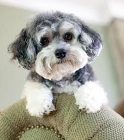 Maltipoo Information About The Breed Maltipoo